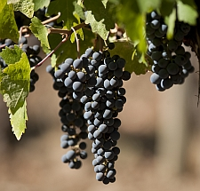 Chile Wine Grapes