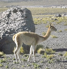 Atacama wildlife