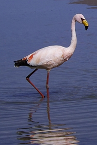 Travesia flamingo