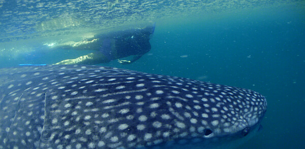Whale sharks with Fun Baja tours