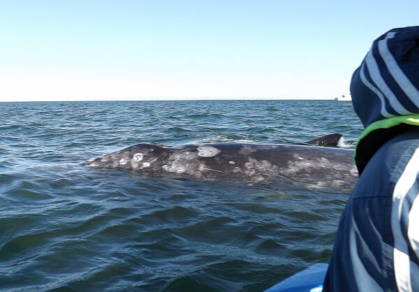 Whale watching in Baja California Sur