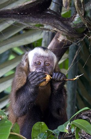 capuchin monkeys in peru