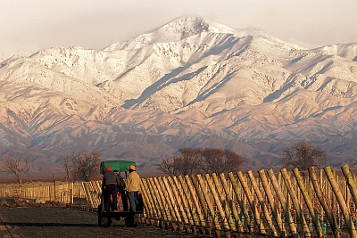 Mendoza Region Grape Vines